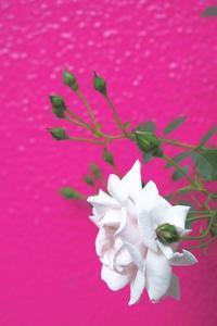 アルジいなくともバラは咲く - Happy Homes & Gardens