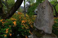 松尾大社のヤマブキ - ぴんぼけふぉとぶろぐ2