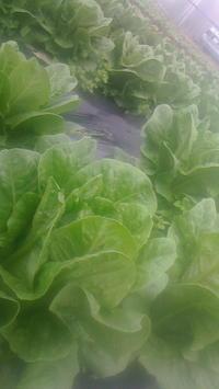 ロメインレタスの収穫始まりました‼~ロメインくんと過ごした冬の時代~ - 畑と笑いと長靴と