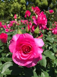 綺麗な薔薇で 満開です。 - るなとゆずと * 私の時間 ♪