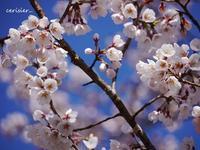 圧倒的桜。2017☆桜がくれた幸せ☆ - 花が教えてくれたこと