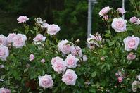 ジュランビルは満開なので、ニュードーンが咲き揃えばシメタもの! - Doriのお気に入り