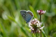 オオルリシジミ5月20日 - 超蝶