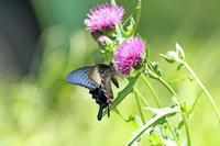 黒いアゲハたちアザミ咲く桃源郷 - 蝶のいる風景blog