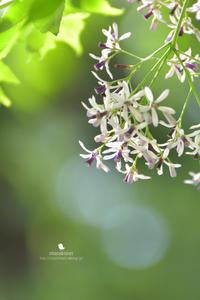 センダン - お花びより
