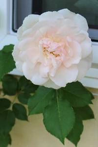 やっと開花&シコタンハコベ♪ - ペコリの庭 *