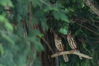 今年も...【アオバズク・カルガモ】 - 鳥観日和