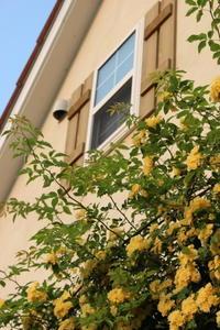 満開になったモッコウバラ - ペコリの庭 *