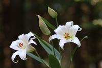 2017.05.23ササユリ咲き始めました。 - 安田の自然