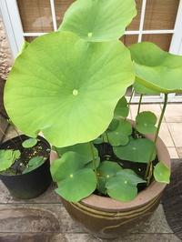 やってきました水生植物の季節~!! - 水鏡 mizukagami