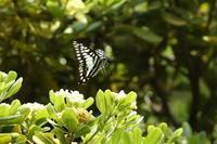 伊勢神宮にミカドアゲハ舞う(三重県伊勢市、20170521) - Butterfly & Dragonfly