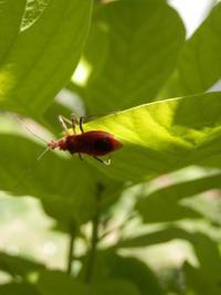 スモークツリーにアカサシガメ - バラと虫たちの世界 小さな庭で