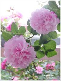 Rosa Orientis - Gardener*s Diary