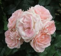 薔薇の天然ブーケ~2017年・春 - デハ712のデジカメ日記2017