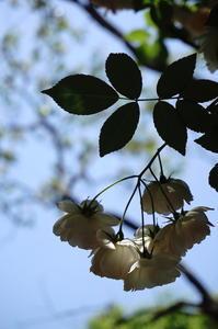薔薇のとき - 木洩れ日のなかで