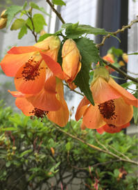 お庭のお花(其の二十二)〜アブチロン - -