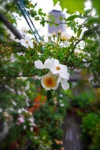 雨にはアジサイがよく似合う - 東京ベランダ通信