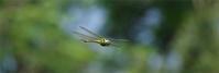 後ろ髪 - 蝶と蜻蛉の撮影日記