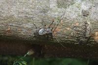 ■小さな甲虫 3種 (3)17.5.25(ナカジロサビカミキリ、アトモンサビカミキリ、ほか) - 舞岡公園の自然2