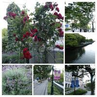 薔薇の季節ですね! - 花サークルAmelyの花時間