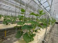水耕メロンです ~上にのびています - ◇◇◇ tomatorose  ~ トマトローゼ ◇◇◇