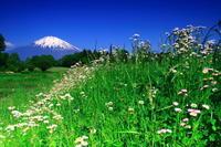 29年5月の富士(18)野の花と富士 - 富士への散歩道 ~撮影記~
