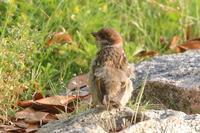 今季初オオムシクイ - 野鳥写真日記 自分用アーカイブズ