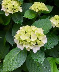 手毬咲きの紫陽花😌 - 八巻多鶴子が贈る 華麗なるジュエリー・デイズ