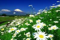 29年5月の富士(21)マーガレットと富士 - 富士への散歩道 ~撮影記~