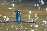 5月のご近所のカワセミさんと日野のカワセミさん - * Toypoodle  x3 + Birds *