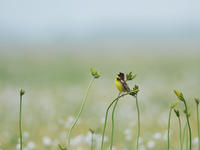 シマアオジ(Yellow-breasted bunting)/2009.06 - Birding  in  Japan!
