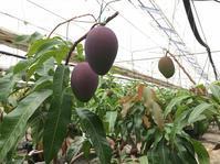 マンゴー今年も収穫できそうです(^^♪ - 杏里ファーム農業記