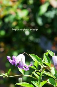 クレマチス ベティーコーニング - 花と風の薫り