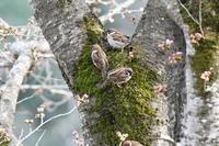 4月1日 - 青梅の野鳥