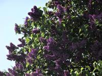 5月の庭から    ライラックの咲く頃 - チルターンの風に吹かれてーイギリスの小さな村の小さな庭からー