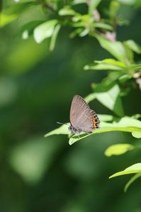ベニモンカラスシジミのテリ張と飛翔 - 蝶超天国