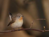 ニシオジロビタキ - Nobbyの鳥ぶろぐ