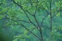 目的は!?②【チゴモズ・クマタカ・ホンドリス】 - 鳥観日和