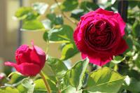 アーチ周りの様子とオリビアローズオースチン - my small garden~sugar plum~