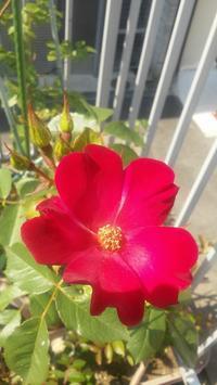 綺麗なバラを見かけると・・・ - 紙鳶流 おなか想いのたいたいレシピ