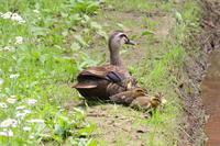 里山のカルガモ親子 - TACOSの野鳥日記
