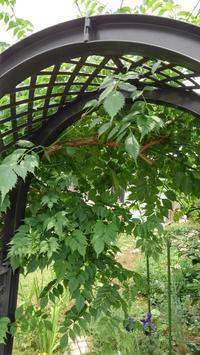 ノウゼンカズラ - うちの庭の備忘録 green's garden