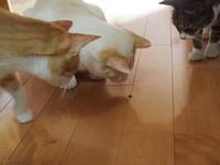 猫さん、ハエトリグモと遊ぶ。 - 3色猫だんご+1