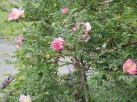 山椒薔薇開く - 冬青窯八ヶ岳便り