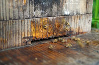 ニホンミツバチ - 良え畝のブログ