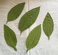 ベルガモット バロチンの葉っぱ - いととはり