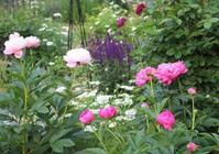シャクヤクが咲いたよ♪ - HOME SWEET HOME ペコリの庭 *