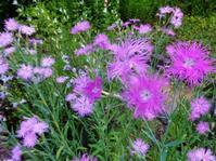 河原撫子 - だんご虫の花