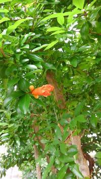 ザクロの花&チャドクガ - うちの庭の備忘録 green's garden