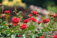 井頭公園の薔薇・・・ - ぶらりカメラウォッチ・・